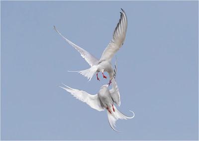 Arctic Tern Aerial Courtship
