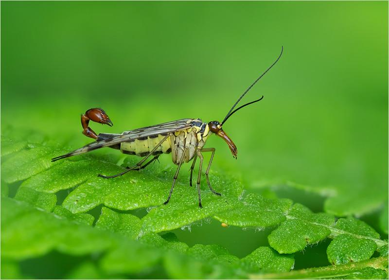 Winner 2020 - Scorpion Fly