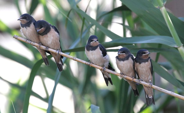 GREEK FLEDGLING SWALLOWS