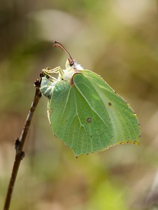 BRIMSTONE LAYING AN EGG