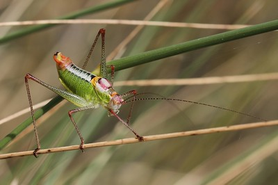 GREEK ORNATE BUSH CRICKET