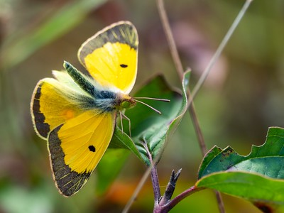 CLOUDED YELLOW BUTTERFLY WITH OPENED WINGS