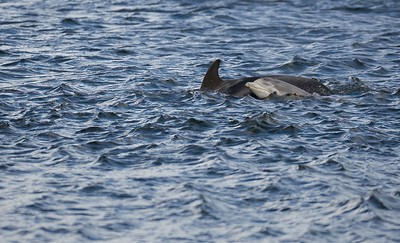 DOLPHIN MOTHER AND CALF
