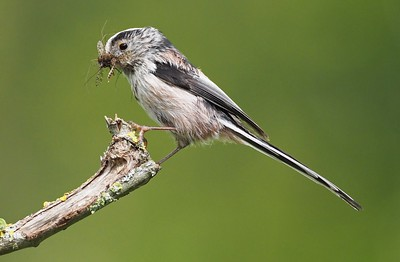LONGTAIL TIT WITH FOOD FOR CHICKS