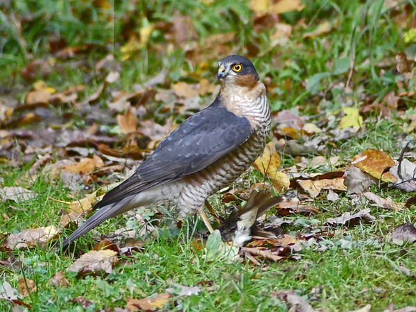SPARROWHAWK MALE WITH ROBIN