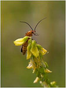 Solider Beetle (Rhagonycha fulva)