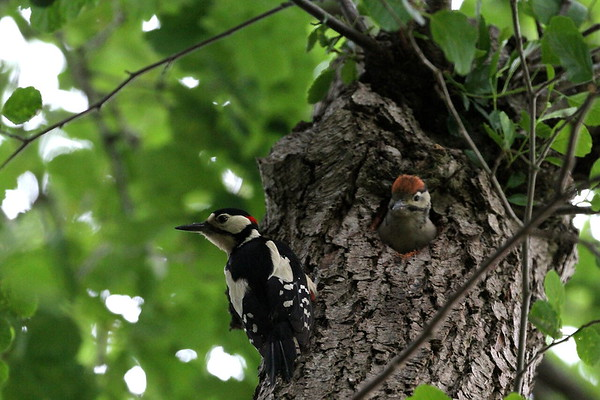great spotted woodpecker and young