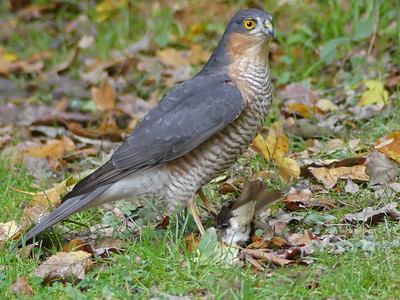 Sparrow Hawk Male With Robin
