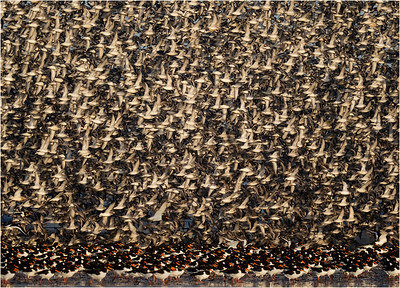 Red Knot over Oystercatchers