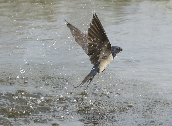 3rd Place - Swallow