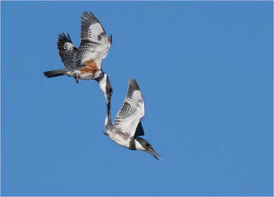 2nd Place - Belted Kingfisher Tail Grab