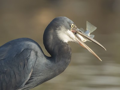 Western Reef Heron With Catch
