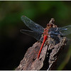 Sue Lindell - Red Dragonfly