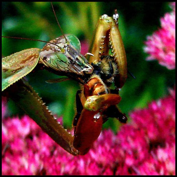 Ken Black - Mantis Eating a Bee #2