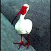 Ken Black - White Ibis