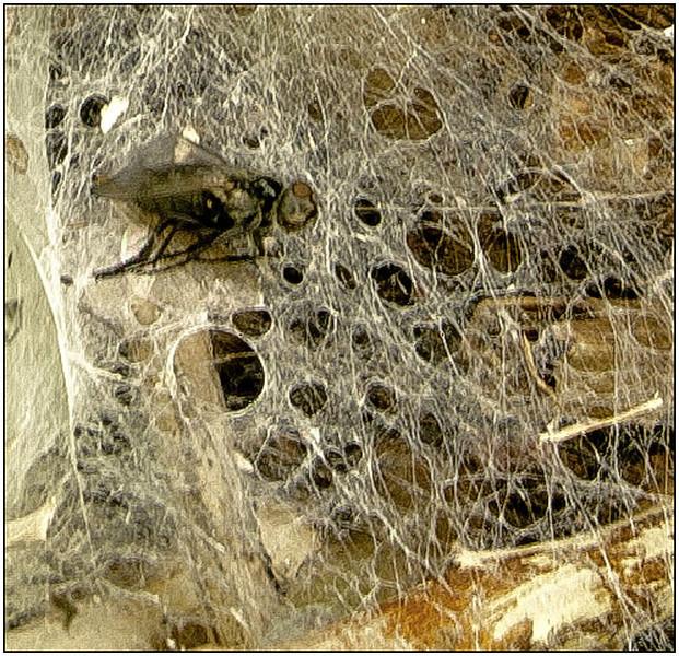 Jane Ballangee - Spider Web
