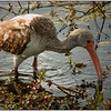 Jane Ballangee - Immature Ibis