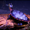 Pretty Turtle<br /> Ken Black