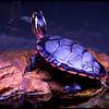 Pretty Turtle<br /> Ken Black