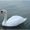 Snow White Swan<br /> Bob Ungar