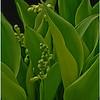 Lilies of the Valley<br /> Jeanne Garrett