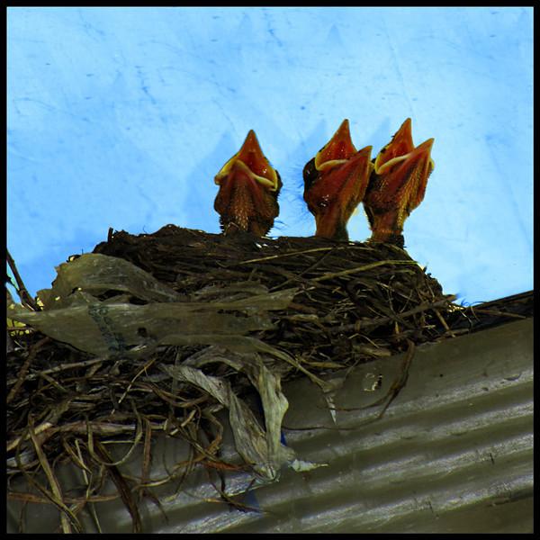Baby Robins<br /> Ken Black