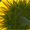 Sunflower in Back-light<br /> Theresa Hart