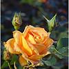 Honey Perfume Rose<br /> Bill Bishoff