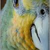 Parrot<br /> Sue Lindell