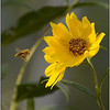 Approaching Bee<br /> Sue Lindell