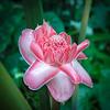 Saint Lucia Pink Torch<br /> Jeff Bonta