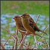 Two Winter Sparrows<br /> Ken Black