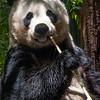 Panda on Lunch Break<br /> Joe Tarlos