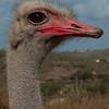 Ostrich Alert<br /> Joe Tarlos