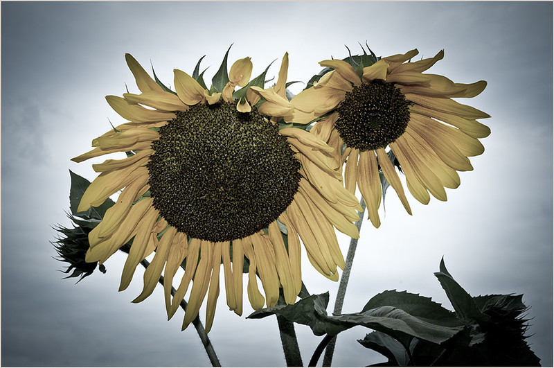 Lazy Sunflowers<br /> Oliver Guevarra