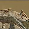 Two Lizards<br /> Ken Black