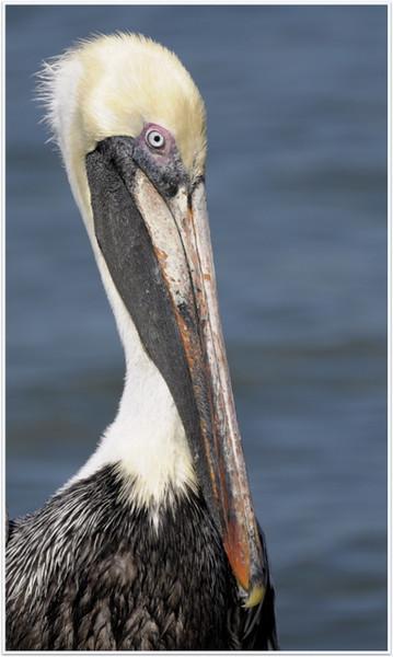 Pelican Portrait<br /> Bob Wallace