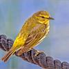 Yellow Warbler - Diane Hamernik