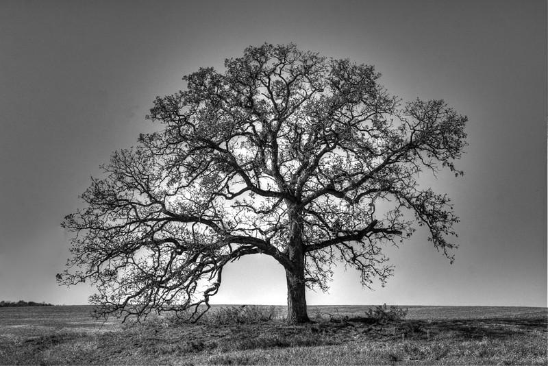 Lone Oak Tree - Robert Erickson