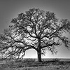 Lone Oak Tree - Robert Erickson