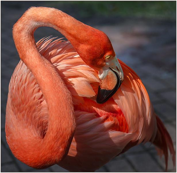 Flamingo - Jane Ballengee