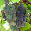 Organic Grapes - Eva Waycie