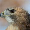 Dave Waycie - Red Tailed Hawk