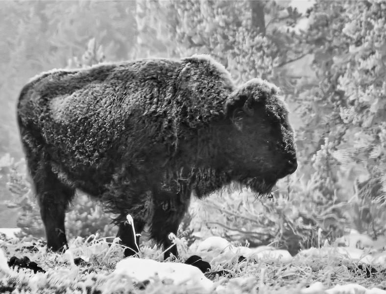 Patricia Kiel - Frosty Bison in Morning