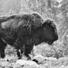 Patricia Kiel - Frosty Bison in Morning