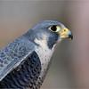 Dave Waycie - Peregrine Falcon