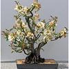 Irene Szilagyi - Bonsai Tree