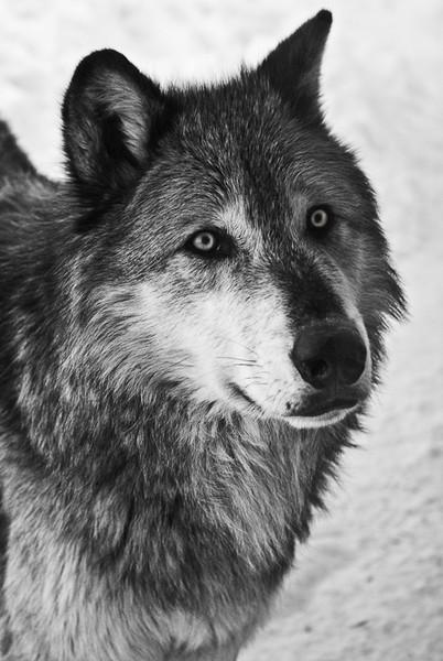 Wesley Kiel - Alpha Male Wolf