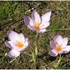 Jean Ungar - Crocuses Equal Springtime