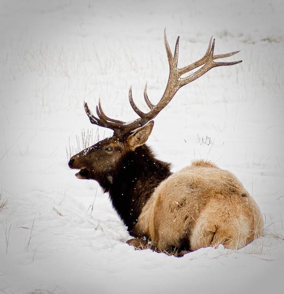 Wesley Kiel - Elk at Rest in the Snow